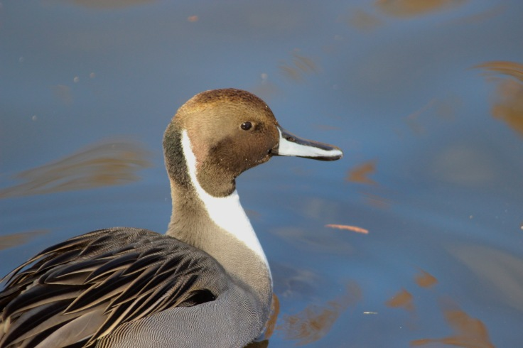 Northern Pintail3