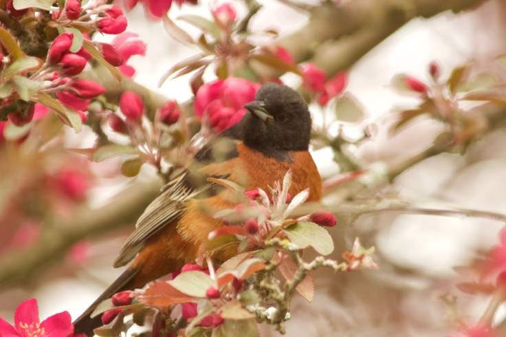 Orchard Oriole7