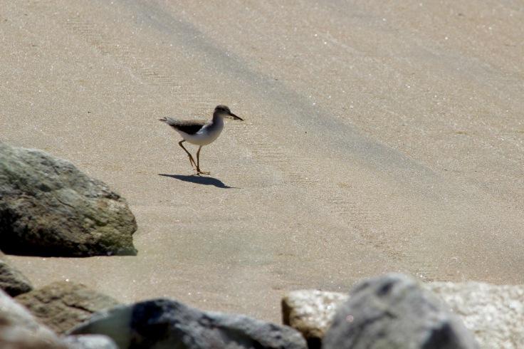 Spotted Sandpiper1